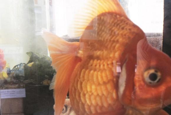 Reflexions d'un poisson rouge